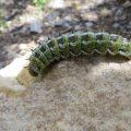 Pandora Moth Caterpillar