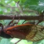 Periodical Cicada Laying Eggs
