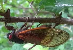 Periodical Cicada Laying Eggs