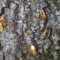 Periodical Cicadas:  Brood XXIII Emergance