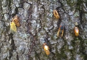 Periodical Cicadas:  Brood XXIII Emergance