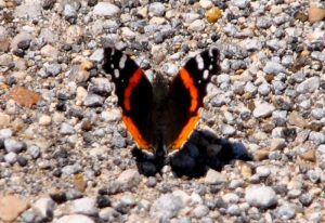 Red Admiral Puddling