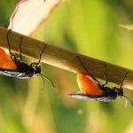 Rose Sawflies