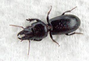 Big Headed Ground Beetle