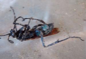 Tarantula Hawk Carnage