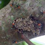 Wheel Bug Hatchlings