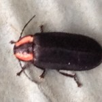 Winter Dark Firefly