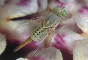 Artichoke Fly