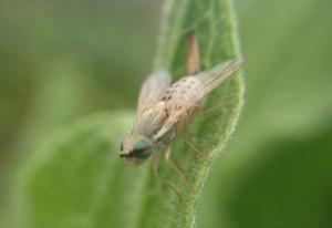 Female Artichoke Fly