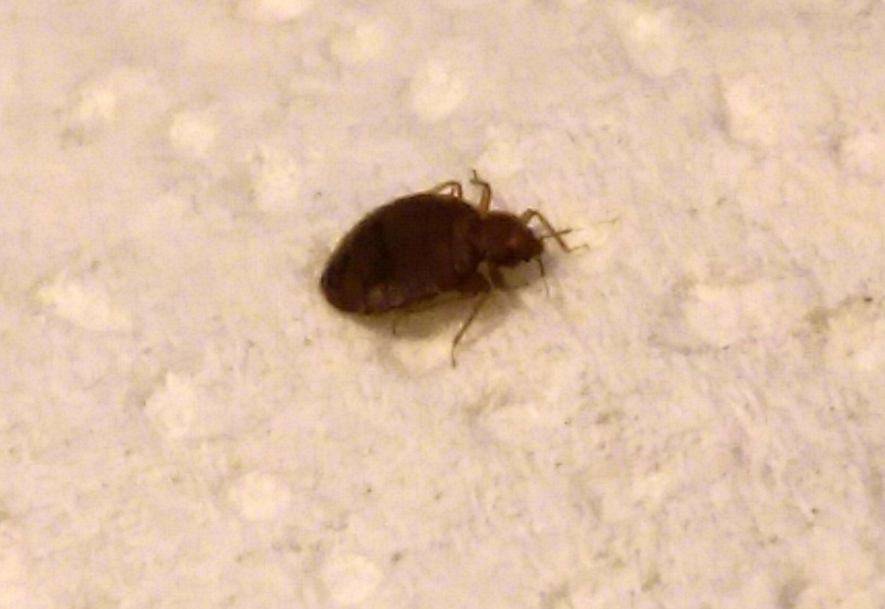 Bed bugs what 39 s that bug for Are bed bugs red