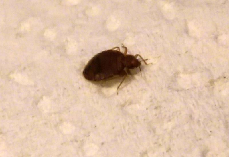 Black carpet beetle bites