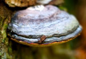 Eastern Ironclad Beetle