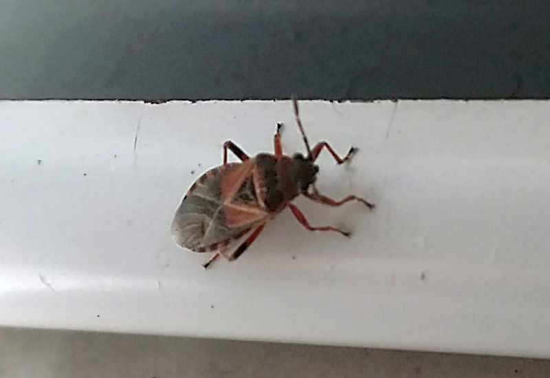 Bug Of The Month July 2015 Elm Seed Bug Infestation In