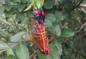 Florida Predatory Stink Bugs eat Cicada