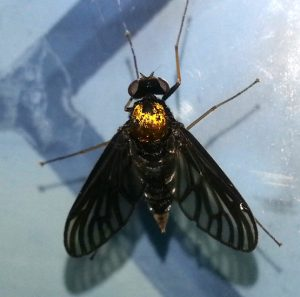 Gold Backed Snipe Fly