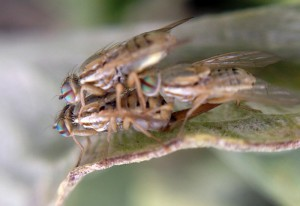 Mating Artichoke Flies