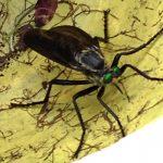 Robber Fly:  Microstylum morosum