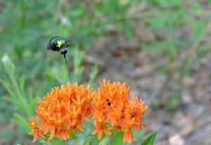 Small Headed Fly