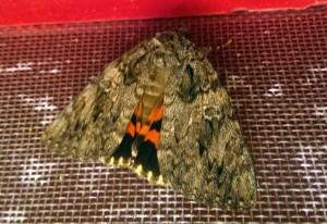 Underwing Moth