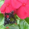 Mating Bee Flies