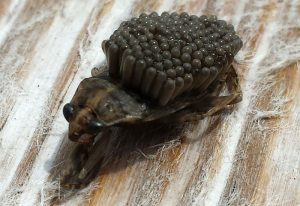 Male Giant Water Bug with Eggs