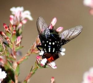 Bristle Fly