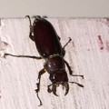 Brownish Red Stag Beetle