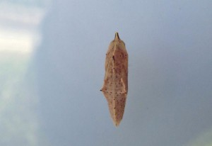 Cabbage White Chrysalis