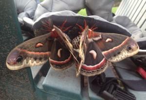 Mating Cecropia Moths