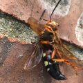 Deceased Cicada Killer