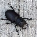 Cottonwood Stag Beetle