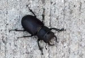 Cottonwood Stag Beetle