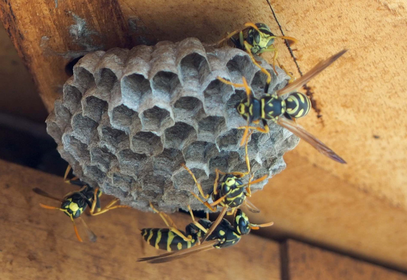 paper wasps nests When it comes to paper wasps, they build their nest from paper they chew wood fibers gathered from old fences or decks this pulp plus the wasp's saliva forms the basis of the nest, which is a network of tiny cells arranged together in a honeycomb shape.