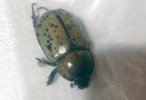 Female Eastern Hercules Beetle