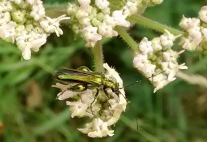 Thick Legged Flower Beetle
