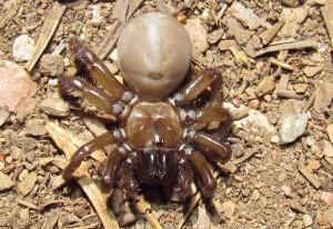 Folding Door Spider