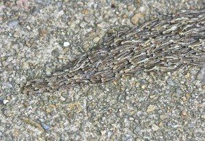 Fungus Gnat Larvae Aggregation