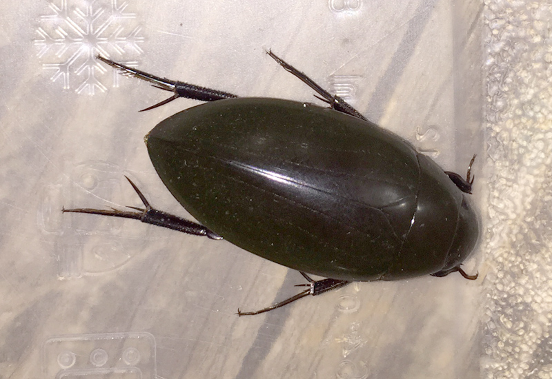 Giant Water Scavenger Beetle What S That Bug