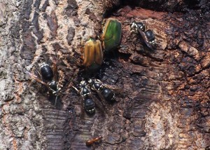 Green June Beetles and Bald Faced Hornets feeding on sap.