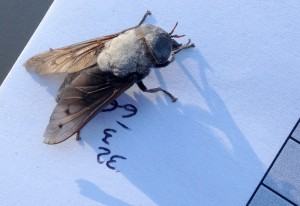 Female Horse Fly