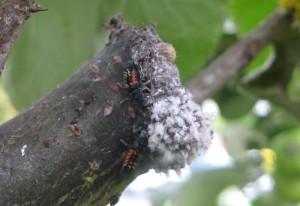 Lady Beetle Larvae eat Hemipterans
