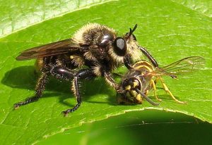 Bee-Like Robber Fly eats Yellowjacket