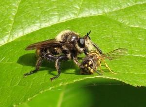 Bee-Like Robber Fly eats Yellowjacket
