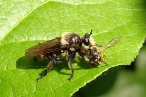 Bee-Like Robber Fly eats Yellow Jacket