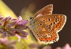 Possibly Violet Copper