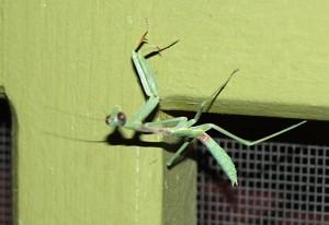 Immature California Mantis