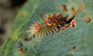 Painted Cup Moth Caterpillar
