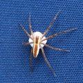 Nursery Web Spider with Egg Sac