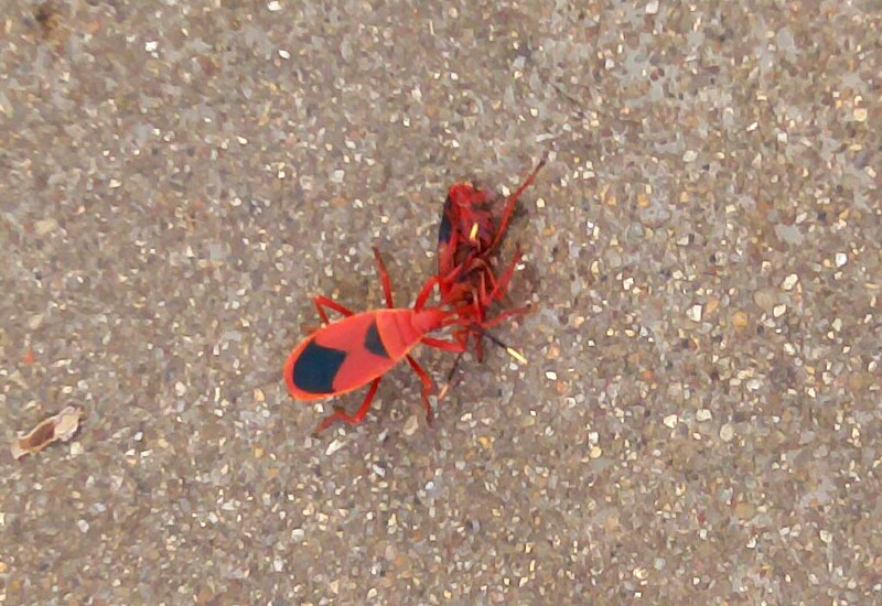 red beetle insect