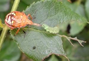 Predatory Stink Bug eats Caterpillar